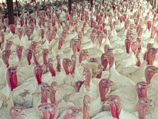 Photo credit: The inside view of a typical turkey production house, Soil Science, Flickr (CC BY 2.0)
